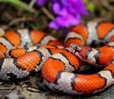 Red Milk Snake Photo By: Peter Paplanus //creativecommons.org/licenses/by-Sa/2.0/