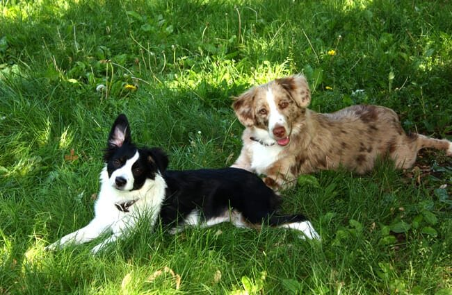 A pair of Miniature American Shepherds on the grass. Photo by: madaise //creativecommons.org/licenses/by-nd/2.0/