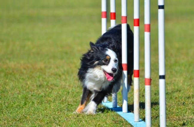 Miniature American Shepherd in the weave poles at Dog Agility trial. Photo by: (c) herreid www.fotosearch.com