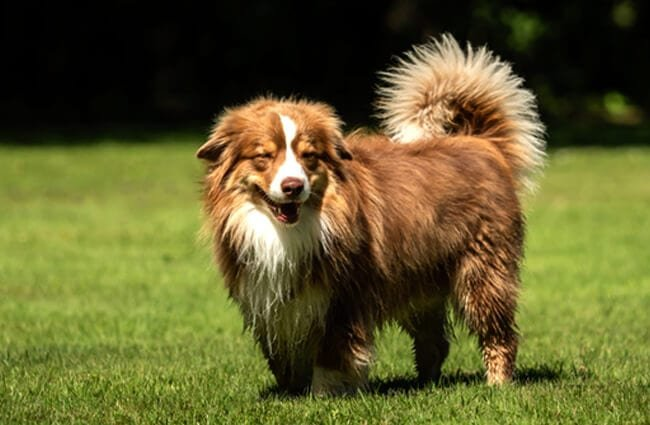 Stunning red Miniature American Shepherd Photo by: (c) SandraFotodesign www.fotosearch.com