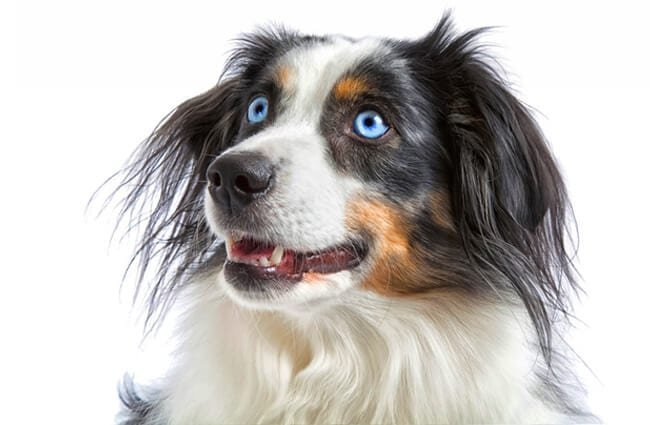 Portrait of a beautiful parti-colored Miniature American Shepherd.Photo by: (c) onepony www.fotosearch.com
