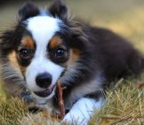 Miniature American Shepherd Puppy With A Chew Stick. Photo By: (C) Martyhaas Www.fotosearch.com