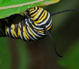 Monarch Caterpillar, Gorging On Milkweed.