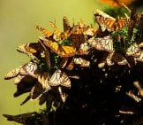 A Flutter Of Monarch Butterflies During Migration.