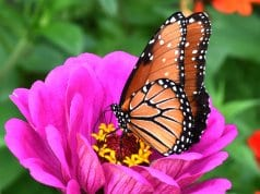 Beautiful Monarch butterfly sipping nectar.
