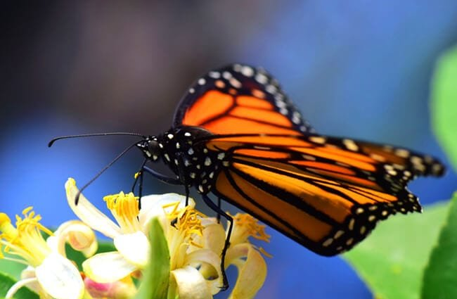 Monarch butterfly, wings splayed.