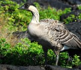 Beautiful Hawaiian Nene Photo By: Sean Hagen Https://creativecommons.org/licenses/by-Nd/2.0/