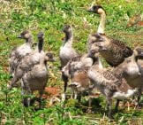 A Superbrood Of Nene Goslings At Kauai, Hawaiiphoto By: Forest And Kim Starrhttps://creativecommons.org/licenses/by-Nd/2.0/
