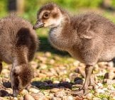 These Little Hawaiian Nene Goose Babies Exploring In The Springtime Sunphoto By: Https://creativecommons.org/licenses/by-Nd/2.0/
