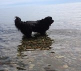 Newfoundland Dog Wading In Lake Ontario. Photo By: Stacey & Angele Https://creativecommons.org/licenses/by-Sa/2.0/