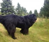 Stunning Portrait Of A Black Newfoundland. Photo By: Stacey & Angele Https://creativecommons.org/licenses/by-Sa/2.0/