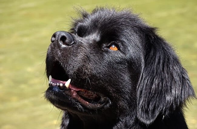 Closeup of a Young Newfoundland.