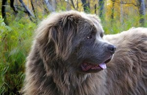 Beautiful grey Newfoundland in profile.
