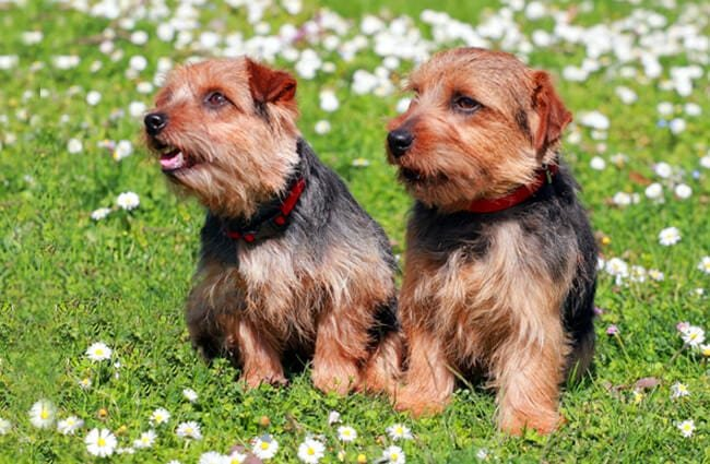 A pair of Norfolk Terriers in a field of wild flowers Photo by: (c) CaptureLight www.fotosearch.com
