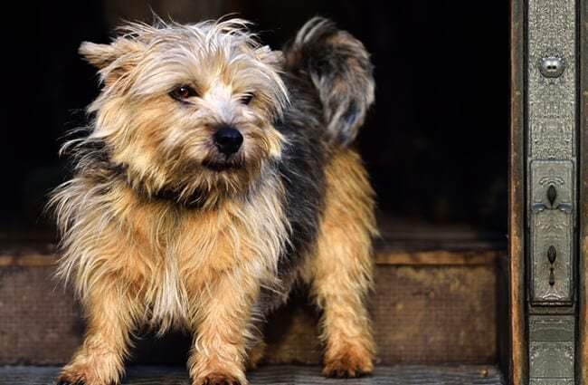 Cute little Norfolk Terrier on the step Photo by: (c) victoriacravenphoto www.fotosearch.com