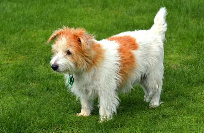 Beautiful Norfolk Terrier in the yard Photo by: (c) lucidwaters www.fotosearch.com