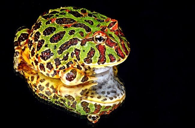 Portrait of a Pacman Frog