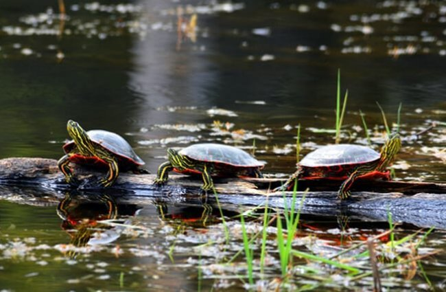Three painted turtles basking in the sun on a log Photo by: USFWS Midwest Region https://creativecommons.org/licenses/by/2.0/