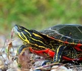 Western Painted Turtle Photo By: Usfws Midwest Region Https://creativecommons.org/licenses/by/2.0/