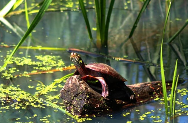 Painted Turtle sunning on a rock