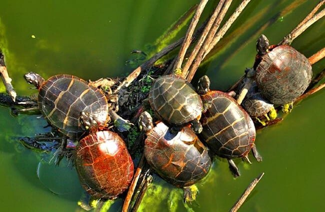 "A ""bale"" of Painted Turtles warming themselves in the sun"