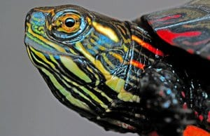 Closeup of a Painted turtle's face