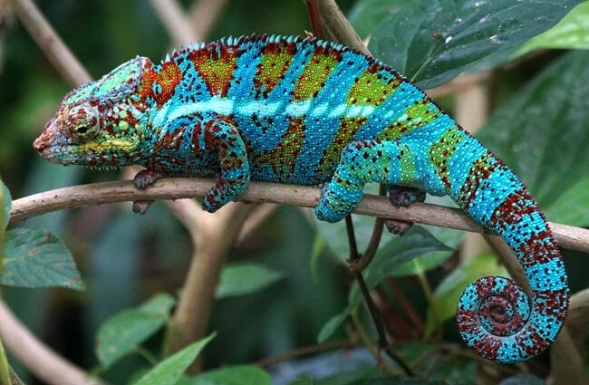 Panther Chameleon showing off his blue color