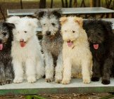 Five Pumi Pups Posing Together Photo By: By Lezo Gfdl (Http://www.gnu.org/copyleft/fdl.html)
