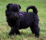 Black Pumi Puppy In The Backyard Photo By: Sarah Easterday Https://creativecommons.org/licenses/by-Nd/2.0/
