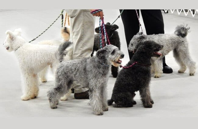 A posse of Pumi dogs ready to travel! Photo by: Jena Fuller https://creativecommons.org/licenses/by-nd/2.0/