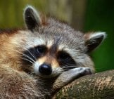 A Sleepy Raccoon