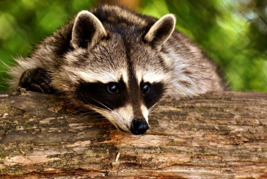 "Closeup of a raccoon's ""bandit mask"""