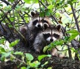 A Pair Of Raccoons Out Of Reach In A Tree