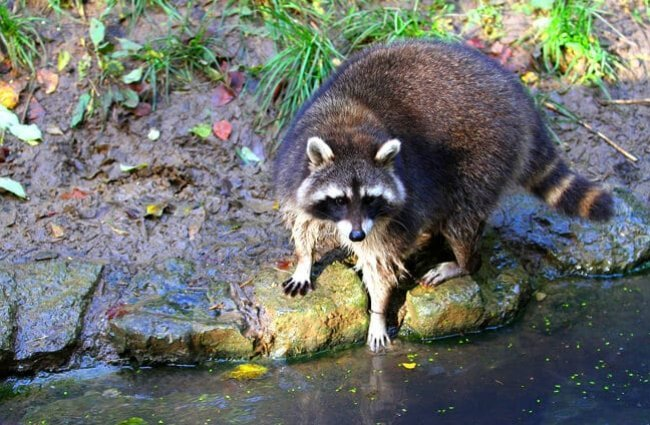 Raccoon reaching into the river