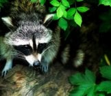 Raccoon Peeking Out From Under A Bush