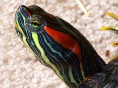 Closeup of a red-eared slider.Photo by: Lonny Weaverhttps://creativecommons.org/licenses/by/2.0/