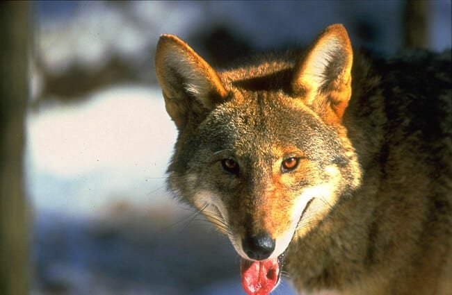 Closeup of a Red Wolf Photo by: Red Wolf Recovery Program CC BY 2.0 https://creativecommons.org/licenses/by/2.0