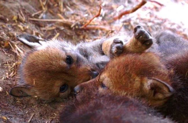 Red Wolf Pups Photo by: Red Wolf Recovery Program CC BY 2.0 https://creativecommons.org/licenses/by/2.0