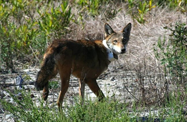 Red Wolf being released with a tracker Photo by: Red Wolf Recovery Program CC BY 2.0 https://creativecommons.org/licenses/by/2.0