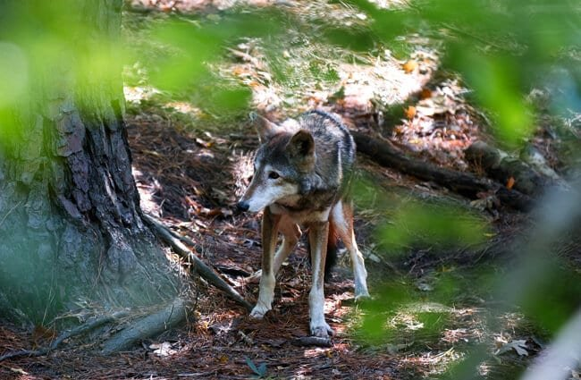 Cautious Red Wolf spotted in the woods