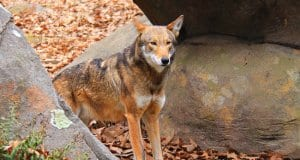 Red Wolf in a rocky place