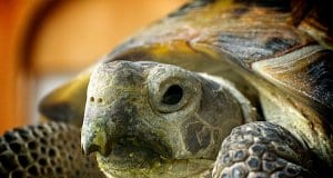 Closeup of a Russian TortoisePhoto by: Mikey Lemoihttps://creativecommons.org/licenses/by/2.0/