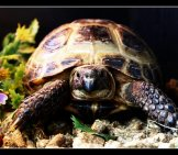 Horsefield Tortoise (Russian Tortoise) Photo By: Nathamanath Https://creativecommons.org/licenses/by/2.0/