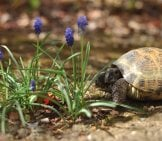 Russian Tortoise In The Garden Photo By: Margaretglin Https://creativecommons.org/licenses/by/2.0/
