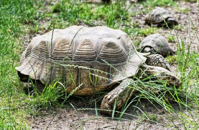 Large Russian Tortoise in the grass Photo by: (c) Vrabelpeter1 www.fotosearch.com