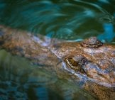 Saltwater Crocodile Lying In Wait
