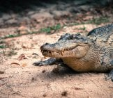 Saltwater Crocodile On The Sandy Shore