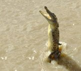 Saltwater Crocodile Leaping From The Water