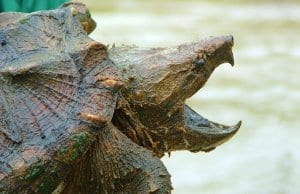 Alligator Snapping TurtlePhoto by: U.S. Fish and Wildlife Service Southeast Regionhttps://creativecommons.org/licenses/by/2.0/