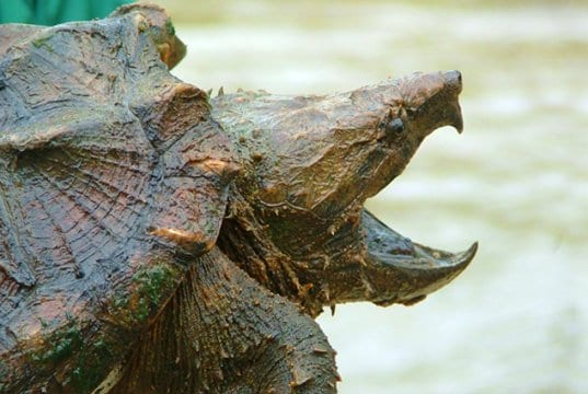 Alligator Snapping TurtlePhoto by: U.S. Fish and Wildlife Service Southeast Region//creativecommons.org/licenses/by/2.0/